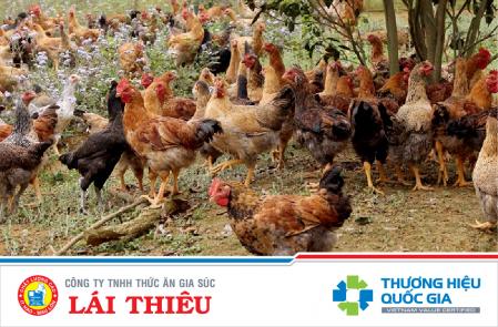 Chế độ dinh dưỡng trong chăn nuôi gà