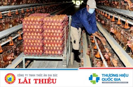 Chế độ dinh dưỡng cho gà đẻ đạt năng suất cao