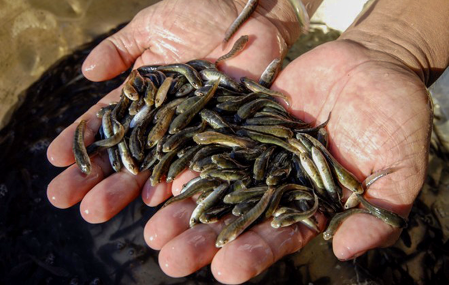 Thức ăn cho cá giống