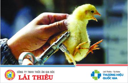 Sử dụng vaccine hiệu quả cho gà
