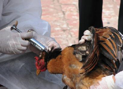 Nguyên tắc tiêm phòng vaccine hiệu quả cho gà thịt